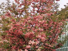 梅小路公園11 市電のひろば・花と緑のガーデンなど ☆松月/サトザクラ咲き誇り