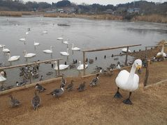 たまにはベタな観光旅行1901  「平泉&伊豆沼・内沼の白鳥&松島を訪れました。」  ~岩手&宮城~