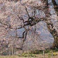 山高神代桜と王仁塚の桜2019