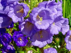 尼崎市 西武庫公園の花壇に咲く花 その2。
