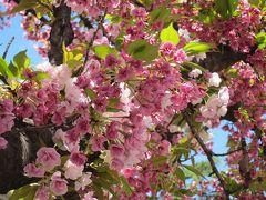 【1】わ~い桜に会えた!*造幣局の通り抜け&大川さくらクルーズ&大阪城&鶴橋*1~3日目 春爛漫の日本へ里帰り