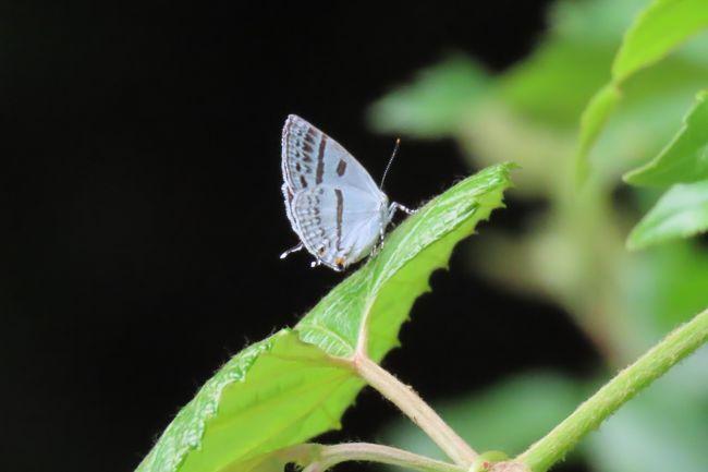 6月3日、午後1時頃に川越市の森のさんぽ道へ蝶の観察に行きました。 気温27℃、湿度が50%以上でやや蒸し暑い日でした。<br />今回の訪問でのまとめとしては以下の通りです。<br />①ヒオドシチョウが先日と同じように同じ場所で多く見られました。 6頭ほど見られました。<br />②アカシジミは見られましたが栗林の花で2頭、森のさんぽ道で2頭見られました。 以前沢山見られた畑地周りの森の中では全然見られませんでした。<br />③ミズイロオナガシジミが1頭見られました。 羽化したばかりで美しかったです。<br />④畑地横の荒地に沢山咲いているハルジオンでヒメアカタテハ、モンキチョウ、キチョウ、モンシロチョウ、ツマグロヒョウモンが見られました。 その他としてダイミョウセセリ、コミスジ、サトキマダラヒカゲが見られ、本日は11種見られました。<br />肉眼だけではアカボシゴマダラも2~3頭見られました。<br /><br /><br /><br />*写真は美しかったミズイロオナガシジミ
