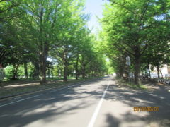 札幌の北海道大学・銀杏並木・ポプラ並木