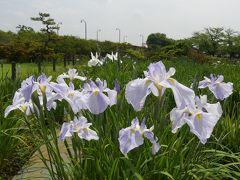 「つつじが岡第二公園」の花菖蒲_2019(2)_3割くらい咲きました。(群馬県・館林市)