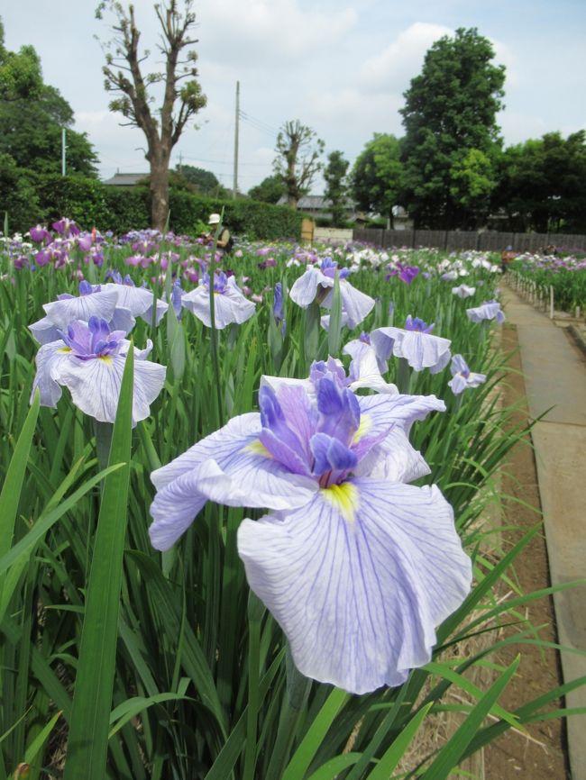県内最大級「染谷花しょうぶ園」2019/6/4