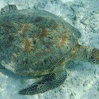 次は座間味島でウミガメ その2は座間味島の古座間味ビーチと阿真ビーチ