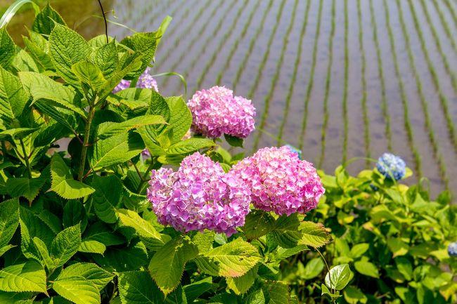 豊前市枝川内地区では、平成13年より「小さなむらの大きな挑戦!日本一のあじさいランド!」を合言葉に、地区をあげてアジサイの栽培をすすめています。そして現在、約16,000株植えられおり、6月中旬にはあじさい祭りの開催が予定されています。