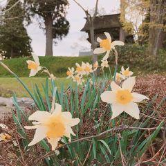 山形県 最上公園 桜は前日の強い風で散っていたけど黄色スイセンがいたから 2019.GW