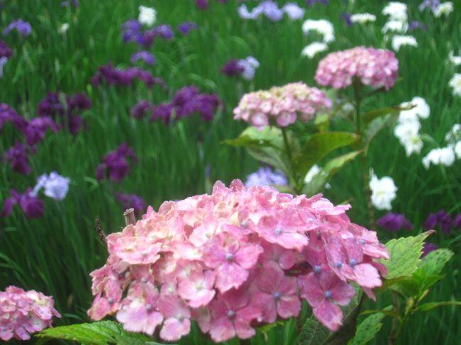 あじさいの季節となり、道を歩いていてもあじさいの花を目にするようになりました<br />https://4travel.jp/travelogue/11503907<br />で新横浜のラーメン博物館へ行った後で、センター南にある正覚寺に菖蒲とあじさいを見に行って、この日は19,964歩のお散歩となりました<br /><br />【表紙の写真】本覚寺の菖蒲とあじさい