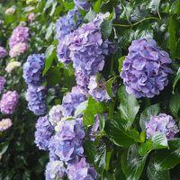 令和元年 飛鳥山の紫陽花 咲き始め