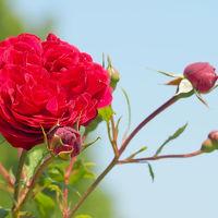 横浜さんぽ12☆薔薇&念願の生プリン