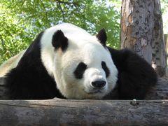 初めての北京観光:北京動物園・大熊猫館★萌えるパンダ編★