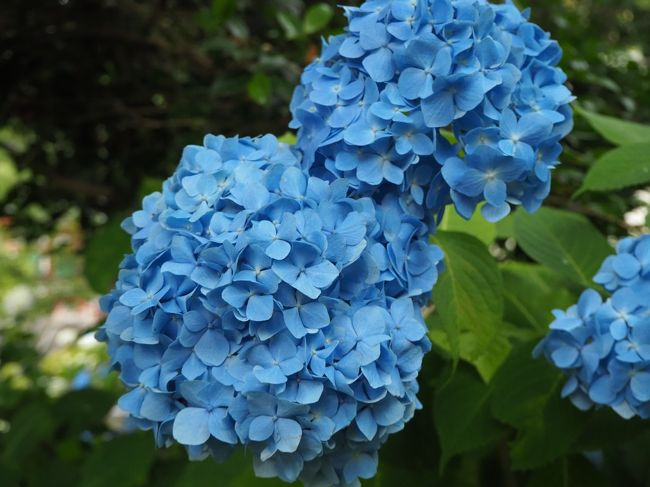 あじさいの咲く季節になってきました。<br />あじさいといえば、あじさい寺の異名を持つ、奈良の矢田寺でしょうか。<br />矢田寺へお参りしようと思ったとき、近くに矢田坐久志玉比古神社(やたにいますくしたまひこじんじゃ)がご鎮座されていることを思い出しました。<br />楼門にプロペラのある神社で、御祭神はもう一つの天孫降臨の櫛玉神饒速日命(くしたまのかみにぎはやひのみこと)です。<br />矢田坐久志玉比古神社から矢田寺へとお参りしていきます。<br /><br />【写真は、矢田寺のあじさいの花です】