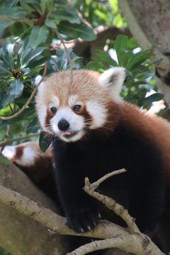 令和最初のレッサーパンダ動物園GWの伊豆めぐり(5)熱川バナナワニ園(前)ニシレッサーパンダ特集:総勢13頭と嬉しそうに食べる朝夕ごはん時