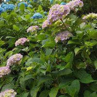 西国三十三所(善峯寺〜三室戸寺)紫陽花めぐり