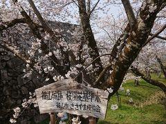 満開の桜を愛でるドライブ旅