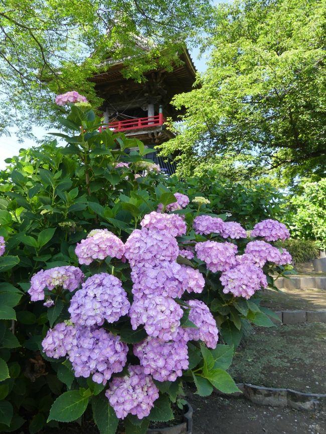 「能護寺」のアジサイが綺麗に咲いていました。