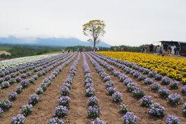 美瑛町四季彩の丘~今年はトロッコ号でぐるりと回ってみた! 富田ファームにも行ってきたよ!