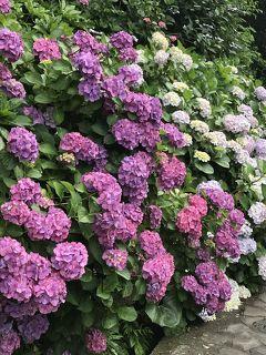 花を求めて⑫ 伊豆女子旅 熱海でジャカランダ、下田で紫陽花、北川温泉望水でゆったり温泉に