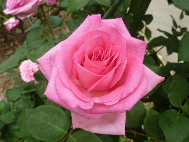 長さ日本一のバラのトンネルがある、平成の森公園のバラ祭りに行ってきました。