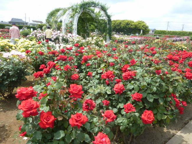 埼玉県伊奈町にある、町制施行記念公園のバラ祭りに行ってきました。