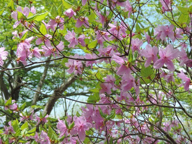 今年は4月に入ってからの降雪の影響もあって普段の開花時期とはちょっと違う…なので少し遅いかなーのタイミングで山へ遊びに出かけてみた。<br />人気のある場所ではないのでのんびりと歩けましたよ~<br /><br />写真はたくさん咲いていたトウゴクミツバツツジです…たぶん(笑)