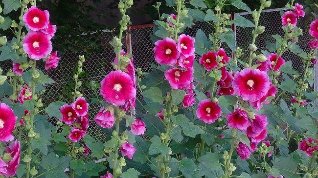 上巻からの続きです。<br /><br />写真は、天王寺川右岸に咲く、タチアオイの花です。