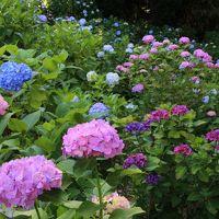 多摩丘陵の浄慶寺・生田緑地・妙楽寺で紫陽花や花菖蒲を愛でる2019年6月