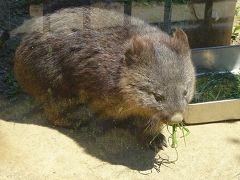 五月山動物園へ、ウォンバットに逢いに行きました。