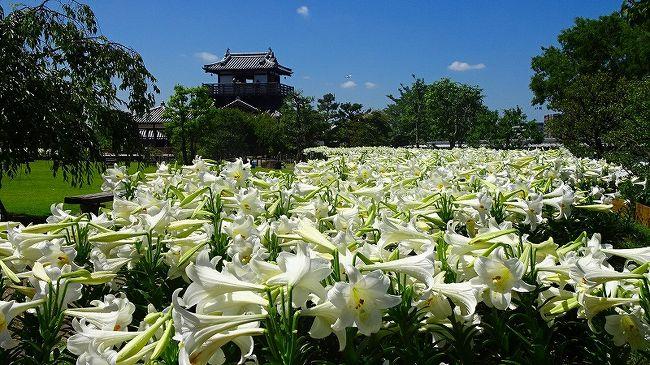 池田城跡公園に、白いテッポウユリが満開になっていると知り、車で出掛けました。<br /><br />写真は、満開の白いテッポウユリの彼方に立つ池田城跡。
