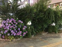 上野公園のあじさい2019