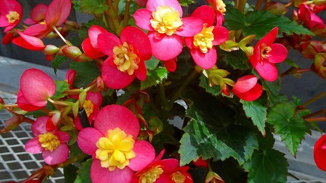 上巻からの続きです。<br /><br />写真は、ベゴニアの花。
