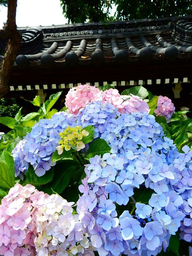 今年はちょっと遅くなりましたが、梅雨の晴れ間に祭りの後の東京文京区白山神社の紫陽花を眺めてきました。
