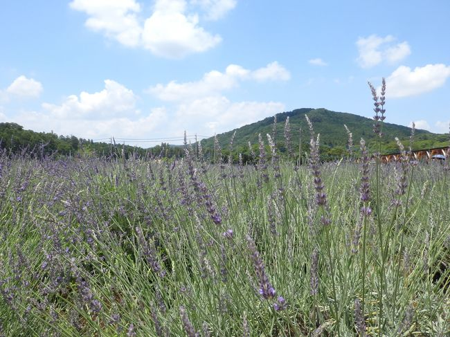 初夏の香りに癒される「千年の苑」5万株のラベンダー園@嵐山(らんざん)町