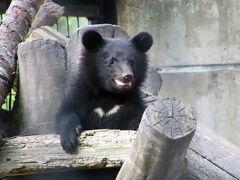 初夏の秋田レッサーパンダ遠征2泊1日(3)大森山動物園(後)コツメカワウソ仲良しカップルやツキノワグマの赤ちゃんにめろめろで園内回りきれず
