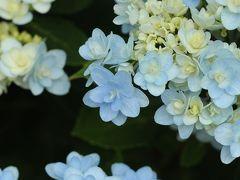 万博公園早めの紫陽花