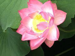 蓮が咲きだす不忍池