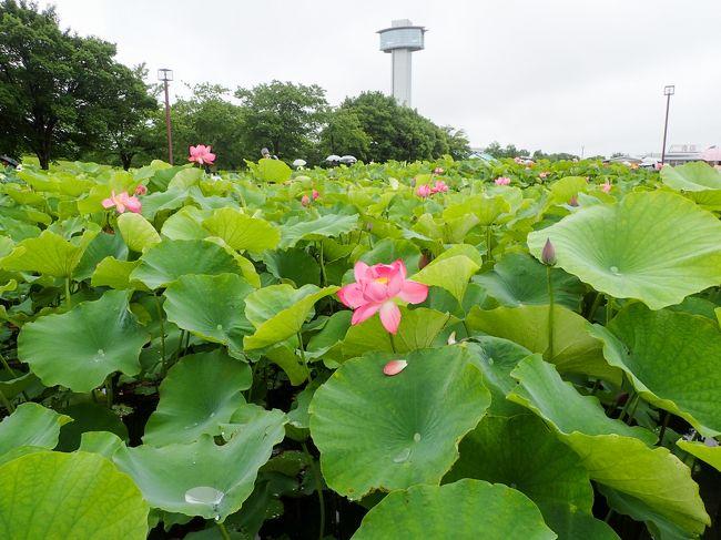 古代蓮の花を見に行田「古代蓮の里」へ行きました。「行田蓮(古代蓮)」は、1400年~3000年前の蓮であると言われているとのことで、公共建設工事の際に偶然出土した種子が眠りからさめて自然発芽し一斉に開花したのだそうです。「古代蓮の里」では約12万株の蓮の花があるそうです。蓮の開花期は6月下旬から8月上旬にかけて。田んぼアートの見頃は7月中旬から10月中旬とのことでした。今回は車で行きましたが、6月15日~7月28日までJR行田駅と往復するシャトルバスがでているとのことでした。