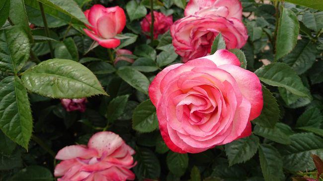 花フェスタ記念公園にはいったことあったのですが、バラの時期を外していたので、今回五月のおでかけということで、バラ園を見に行ってきました。<br />美濃加茂市のあじさいマンホールカードもゲットしつつ。。。
