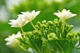 ひとりお花見部 豊島園と向島百花園の紫陽花