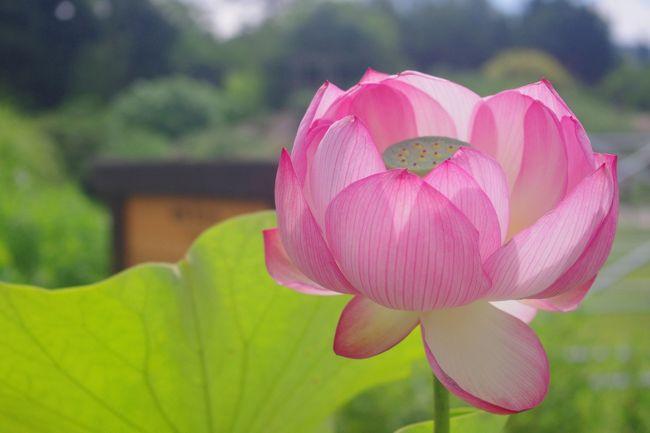 初夏を彩る花は数々あれど<br />蓮に魅せられて~<br />植物園の古代蓮(大賀蓮)開花情報からは<br />一週間も過ぎてしまいましたが。。。<br /><br />今年の近畿の梅雨入りは6/26日<br />傘マークが並ぶ週間予報では28日が曇りとの予報の<br />28日に出かけてきました。<br /><br /><br /><br />