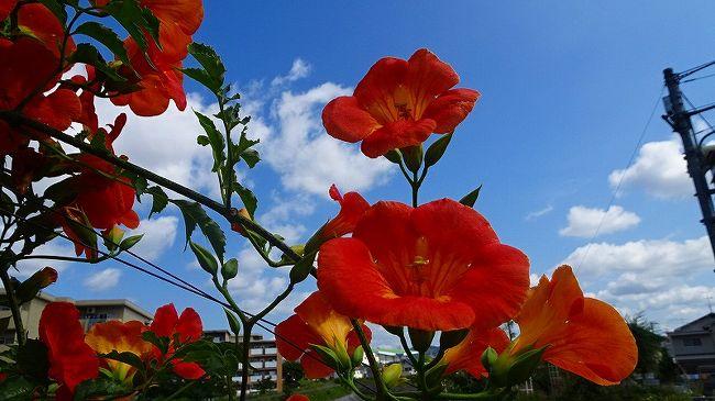 その2からの続きです。<br /><br />写真は、天神川の堤防に咲くノーゼンカズラの花。