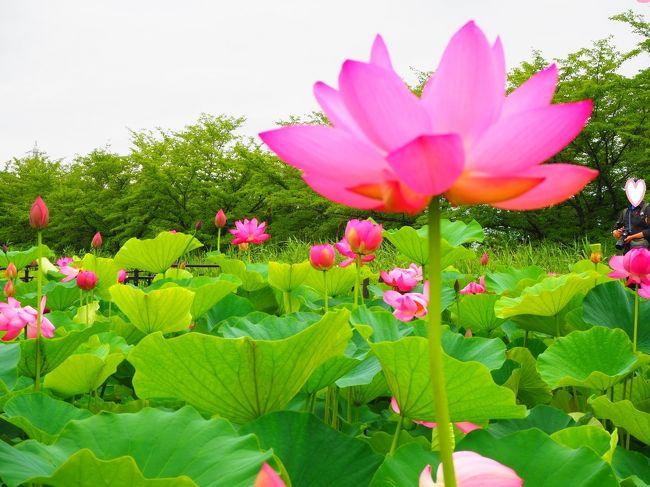 4トラさんの旅行記を見て、数年前から気になっていた埼玉県行田市の蓮の里&田んぼアート♪<br />今年こそ行かなくては!とふと朝思い立ち1人で出掛けて来ました(^^)<br />