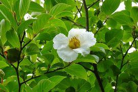 初夏の京都 緑眩しい梅雨時の京都・比叡山に癒される②2日目 比叡山延暦寺・大原バスツアー 紫陽花・夏椿など見頃でした