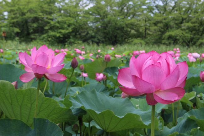 過去に行田の蓮の花は友人と何度か見に行っています。<br />今年は夫と見に行こうと計画した日は起きたら雨。<br />あーこりゃだめだって行くのをやめたのですが、<br />この日は、いつも美しい花の写真をアップしてみる人を楽しませてくれているokushitwさんが行かれていてその旅行記を見て<br />我慢できなくなっちゃったので、行くことにしました。<br />okushitwさんの旅行記はこちら<br />https://4travel.jp/travelogue/11514074<br /><br />朝起きて、行こう!と決めたもののコースはどうしよう?<br />以前ウォーキングイベントでこのあたり歩いたことがあるので地図を探すが見つからない・・・<br />時間は刻々と過ぎていく。<br />地図は諦めてさあ行くぞーっ!
