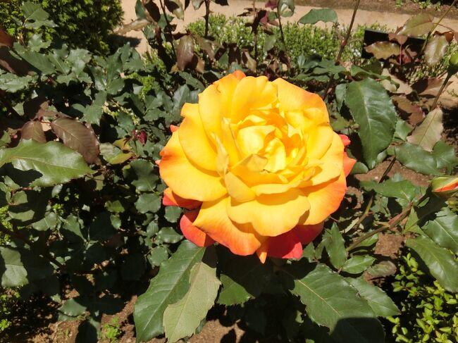 5月になると、バラが見頃の古河庭園。散歩がてらに寄ってみました。その後に上野に行き、クレムト展を見に行きましたが、平日でもすごい人です、<br />素晴らしい絵が多く、クレムトに魅了された1日でした。