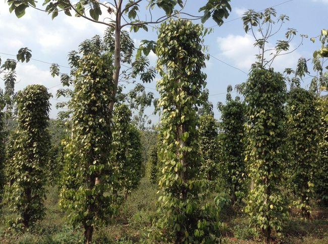 ベトナムのホーチミンから車で2時間の里山に胡椒のプランテーションがある。<br />コンクリートの柱に胡椒が絡みついてのびている。<br />脚立で収穫ができる。<br />計画的な生産ができる。<br />農業は収穫量が確定しないと、取引業者も買い付けてくれない。<br />しかし、設備投資が必要になる。ミャンマーの胡椒は自然そのまま、肥料も水もやらない<br />