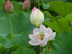 梅雨の合間に、大阪万博記念公園・日本庭園「はす池」で「ハス三昧の一日」を過ごす。(2019)