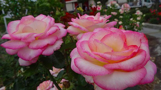 電器店(ケーズデンキ宝塚伊丹店)へ買い物に行った後、街中を徘徊して帰宅しました。<br /><br />写真が多いので3冊になっています。<br /><br />写真は、荒牧下ノ池緑地に咲くバラの花。 <br />