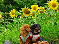 神戸総合運動公園でヒマワリの花が咲いたと知り、見に行きました 中巻。